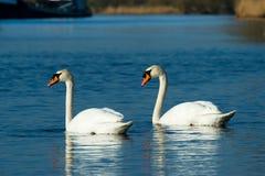 De witte zwaan van het paar Stock Afbeeldingen