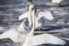De witte zwaan vecht royalty-vrije stock afbeelding