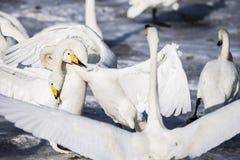 De witte zwaan vecht royalty-vrije stock foto