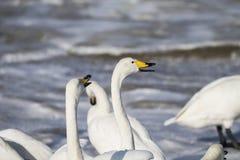 De witte zwaan vecht royalty-vrije stock fotografie