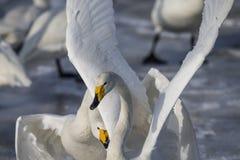 De witte zwaan vecht stock afbeeldingen