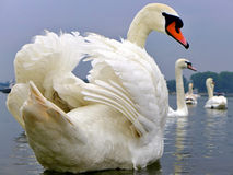 de witte zwaan ziet terug eruit Royalty-vrije Stock Foto's