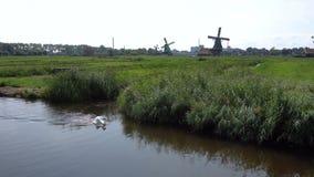 De witte Zwaan zwemt in chanel van het dorp van Zaanse Schans, Nederland Toeristisch Dorp dichtbij Amsterdam met stock footage