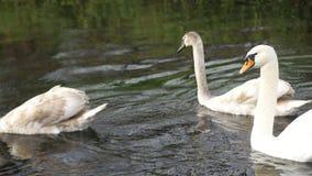 De witte zwanen drijven op de rivier stock videobeelden