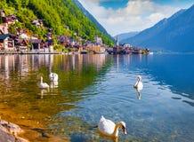 De witte zwanen op het meer Hallstatter zien Stock Afbeelding