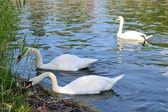 De witte zwanen zijn op van de stadsvijver Royalty-vrije Stock Afbeelding