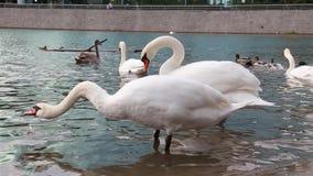 De witte zwanen zwemmen in een vijver op stadspark stock videobeelden