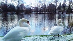 De witte zwanenwinter in Polen royalty-vrije stock afbeeldingen