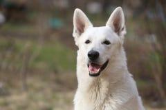 De witte Zwitserse Hond van de Herder royalty-vrije stock afbeelding