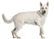 De witte Zwitserse Hond van de Herder, status Stock Foto