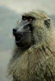 De Woede van de baviaan Royalty-vrije Stock Foto's