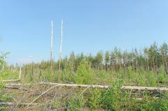 De woestenijen van de bosbrand in 2010 worden overwoekerd met berken in centraal Rusland Royalty-vrije Stock Fotografie