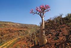 De woestijn nam - adeniumobesum toe stock afbeeldingen