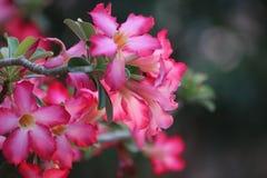 De woestijn nam bloem toe Stock Foto