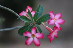 De woestijn nam bloem toe Royalty-vrije Stock Foto