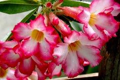 De woestijn nam bloemen toe Stock Afbeelding