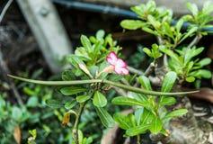 De woestijn nam, Impalalelie, Onechte Azalea, schoonheidsbloemen toe Stock Fotografie