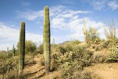De woestijn van Arizona wandelingssleep met cactussen. stock afbeelding