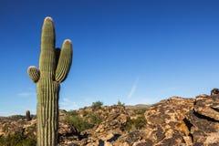 De Woestijn van cactusarizona Stock Afbeeldingen