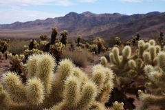 De woestijn van de cactus Royalty-vrije Stock Afbeeldingen