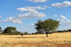 De woestijn van Kalahari en gemsbok (Oryx-gazella) Royalty-vrije Stock Afbeeldingen