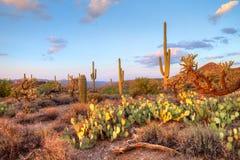De Woestijn van Sonoran Stock Foto