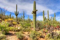 De Woestijn van Sonoran stock foto's