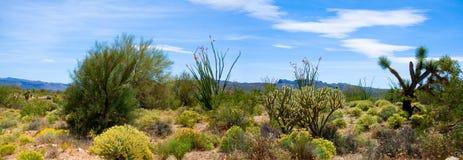 De Woestijnbloei van de lentesonoran stock afbeeldingen