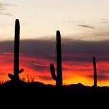 De Woestijnzonsondergang van Sonoran van Saguarocactussen Stock Fotografie