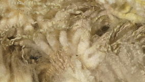 De wol dicht omhooggaand panning van Nieuw Zeeland schot stock video