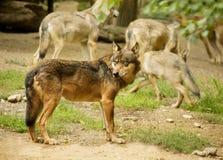 De wolf Royalty-vrije Stock Afbeeldingen