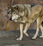 de wolf Stock Foto