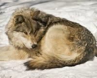 De wolf staart Stock Fotografie