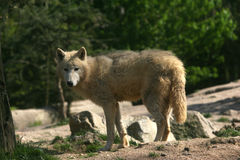 De wolf van Braun Royalty-vrije Stock Foto's
