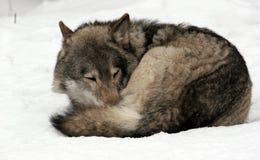 De wolf van de slaap royalty-vrije stock afbeeldingen