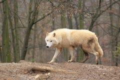 De wolf van de sneeuw stock afbeelding