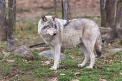 De wolf van het hout Royalty-vrije Stock Afbeelding