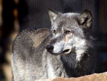De Wolf van het hout kijkt aan de Linkerzijde Royalty-vrije Stock Fotografie