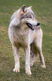 De Wolf van het Hout van de status Royalty-vrije Stock Fotografie