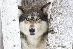 De wolf van het portrethout Stock Afbeeldingen