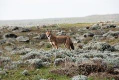 De wolf van Simien Stock Foto's
