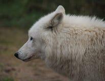 De wolfshoofd van de Hudsonbaai Stock Afbeelding