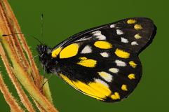 De wolfskers/de vlinder van Delias op takje royalty-vrije stock afbeelding