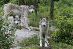 De wolfszweer van Canis van houtwolven op rotsachtige klip in zomer stock foto