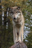 De Wolfszweer van Canis van de wolf Stock Foto