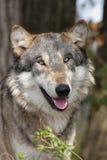 De Wolfszweer van Canis van de wolf Stock Afbeelding