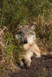 De Wolfszweer van Canis van de wolf Stock Foto's