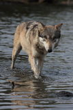 De Wolfszweer van Canis van de wolf Royalty-vrije Stock Foto