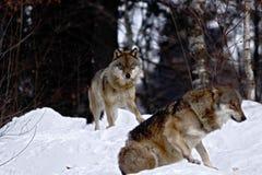 De wolfszweer van twee wolvencanis in de winter, wolfs lopend in sneeuw, aantrekkelijke de winterscène met wolven, mooi de winter royalty-vrije stock foto