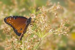 De wolkenloze Vlinder van de Zwavel Stock Afbeeldingen